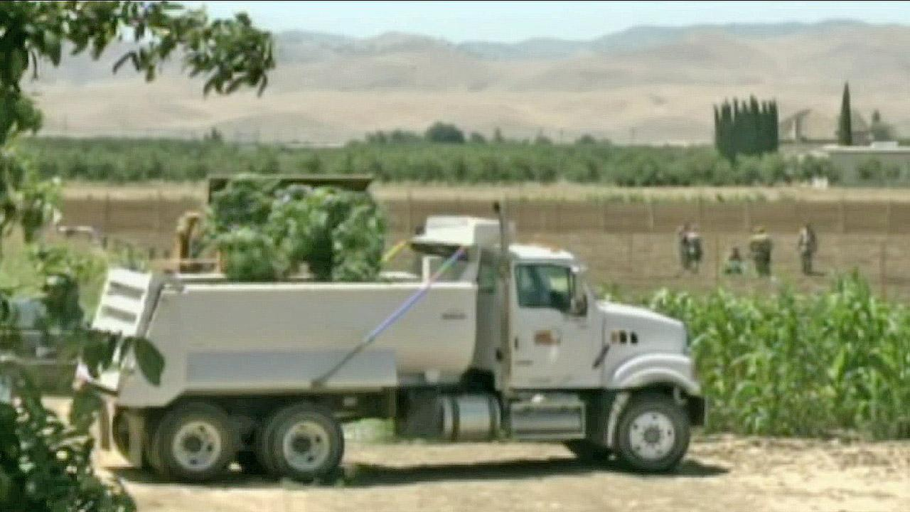 A bulldozer is seen dumping marijuana into a truck after authorities discovered a major pot growing operation in Sacramento in July 2012.