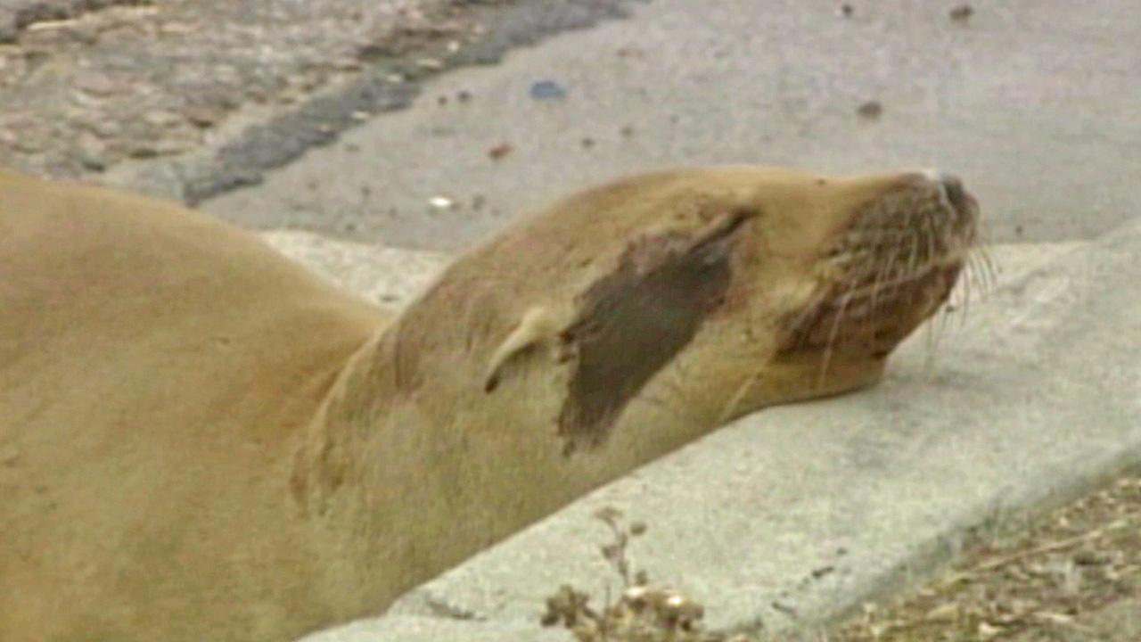 A sea lion pup is seen with its eyes closed before being rescued from the Mission Bay Drive onramp to the southbound 5 Freeway in San Diego on Wednesday, June 3, 2013.