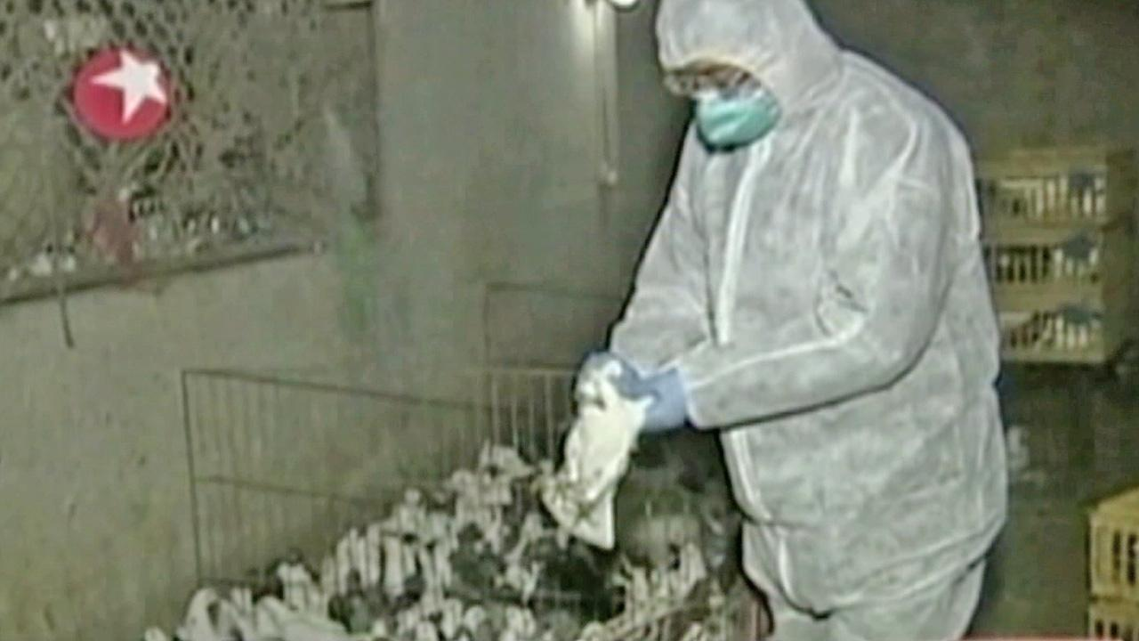 A Chinese scientist is seen handling a bird. A new strain of bird flu, known as H7N9 bird flu virus, has sickened at least 24 people and killed seven of them.