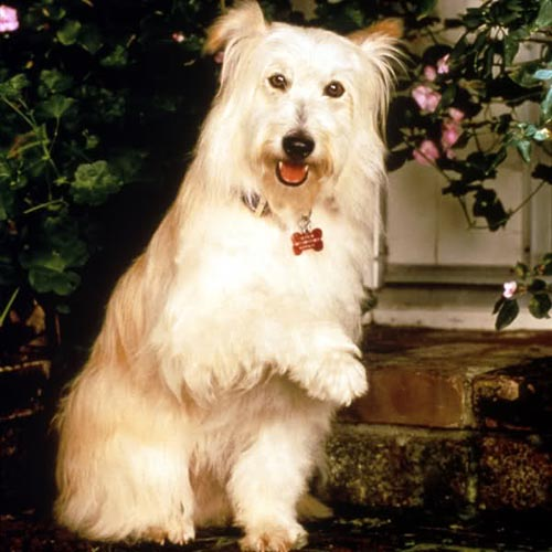 Before being the animal star on the 1990s show &#39;7th Heaven,&#39; &#39;Happy the dog was a stray that was abused by her former male owner. Even though she was rescued, the West Highland White Terrier mix still had a fear of men. Before the taping of every new season, Stephen Collins, Barry Watson, David Gallagher and other adult male actors on &#39;7th Heaven&#39; had to spend some quality time with Happy so she could get used to them being around while shooting scenes together.  The show creator, Brenda Hampton, had found Happy on another show set when she decided to write her into &#39;7th Heaven&#39;. Happy was only 7 months old when she appeared in the pilot in 1996.  <span class=meta>(Warner Bros.)</span>