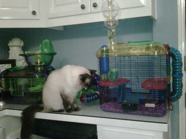 Paris Hilton's Siamese cat Princess Annabelle observes the Los Angeles heiress' hamster cage.