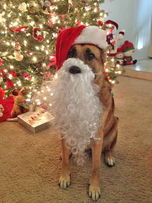 ABC7 viewer Anne Amling shared this snapshot of Roxie. Use #ABC7HomeForTheHolidays on Facebook, Twitter and Instagram to share your holiday photos with ABC7. We&#39;ll feature some of the best on our newscasts and here on abc7.com! <span class=meta>(ABC7 viewer Anne Amling)</span>