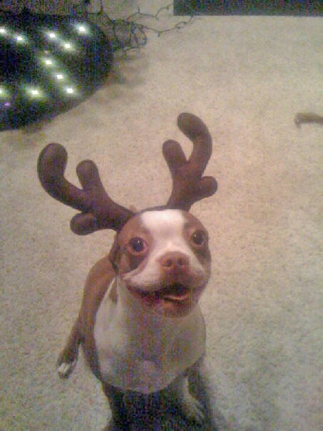 Boston Terrier puppy Bailey as &#39;The Lost Reindeer.&#39; <span class=meta>(ABC7 Photo&#47; Andrew from Laguna Beach)</span>