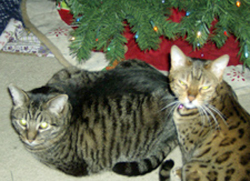 "<div class=""meta ""><span class=""caption-text "">A Purry Christmas to everyone! Hunter and Brini agree; Peace and naps for everyone!  (ABC7 Photo/ Anne Staszalek of Costa Mesa)</span></div>"