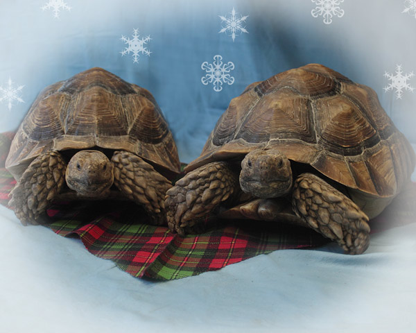 Billie-Jean Ruiz&#39;s tortoises love the holidays.  <span class=meta>(ABC7 Photo&#47;Billie-Jean Ruiz)</span>