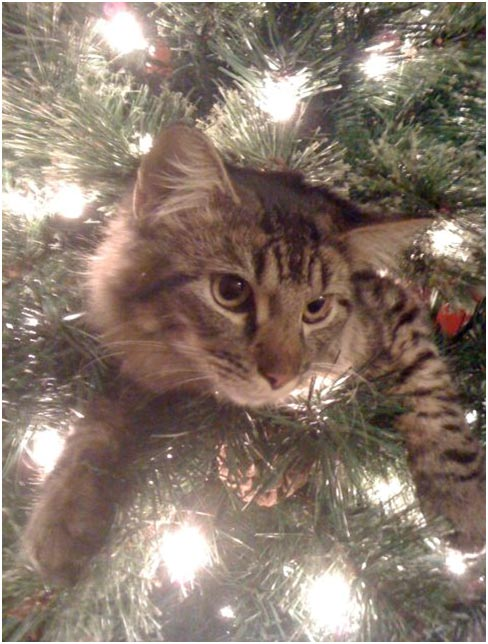Our Maine Coon climbs inside my Christmas tree. <span class=meta>(ABC7 Photo&#47; Eddeane Sims of Anaheim)</span>