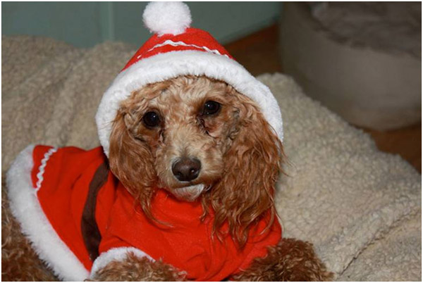 "<div class=""meta ""><span class=""caption-text "">My Toy Poodle Joey trying to figure out what all the fuss is about. (ABC7 Photo/ Ingrid Welch of Leona Valley)</span></div>"