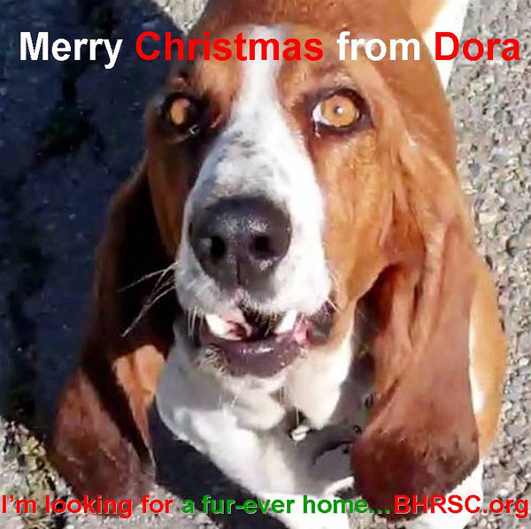 "<div class=""meta ""><span class=""caption-text "">Merry Christmas from Basset Hound Rescue of SoCal.  (ABC7 Photo/ Laurie McCulloch)</span></div>"