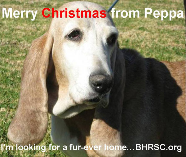 Merry Christmas from Basset Hound Rescue of SoCal.  <span class=meta>(ABC7 Photo&#47; Laurie McCulloch)</span>