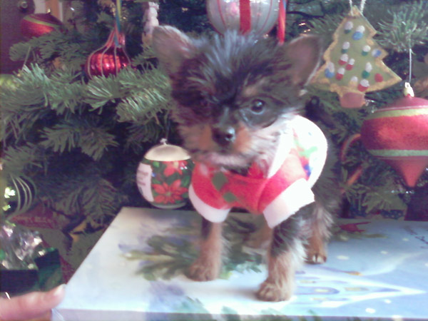 Happy holidays from the Molina family. This is our 7-week-old Teacup Yorkie, his name is Batman. <span class=meta>(ABC7 Photo&#47; The Molina Family)</span>
