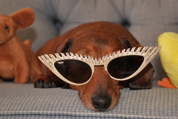 Greta Galloway, our miniature Dachshund, wishes you a cool yule.  <span class=meta>(ABC7 Photo&#47; Shana Galloway of Cypress)</span>