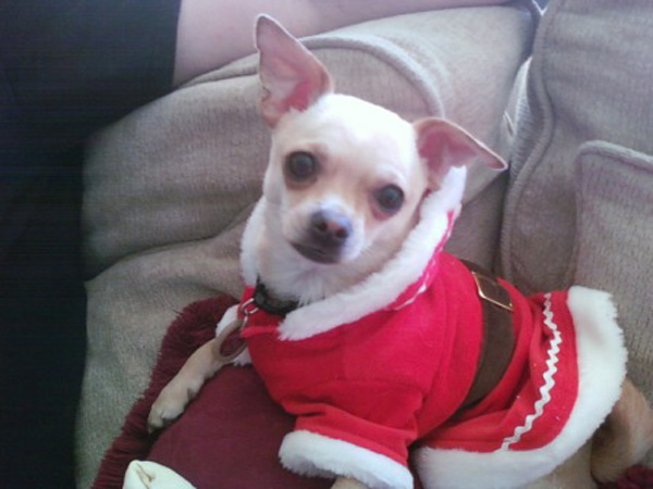 This is our little Sampson &#34;Sammy&#34; enjoying his first Christmas with us last year. We rescued him from an abusive neighbor. - The Myers Family in Huntington Beach <span class=meta>(ABC7 Photo&#47; Sherrie Myers)</span>