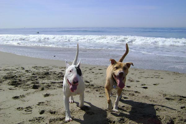 "<div class=""meta ""><span class=""caption-text "">ABC7 viewer Lori Said from North Hills sent in this photo of Topanga and Jackson. Lori says the two dogs met at Ventura County Line Beach, where they 'played tirelessly for a couple of hours.' Celebrate National Puppy Day by sending photos of your pup to ABC7. (KABC Photo/Lori Said)</span></div>"