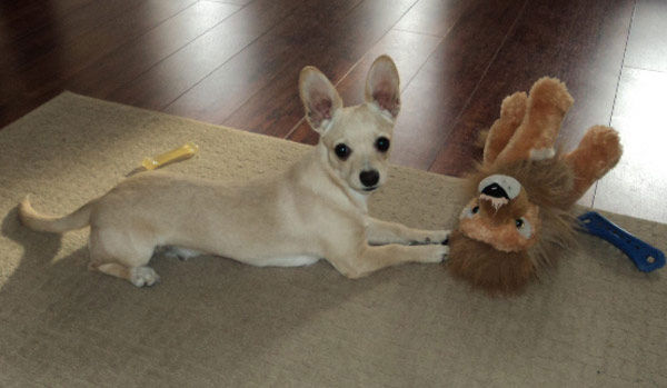 ABC7 viewer Jazmin Luna from Los Angeles sent in this photo of Chisper. &#39;He sure loves his toys,&#39; said Jazmin. Celebrate National Puppy Day by sending photos of your pup to ABC7. <span class=meta>(KABC Photo&#47;Jazmin Luna)</span>