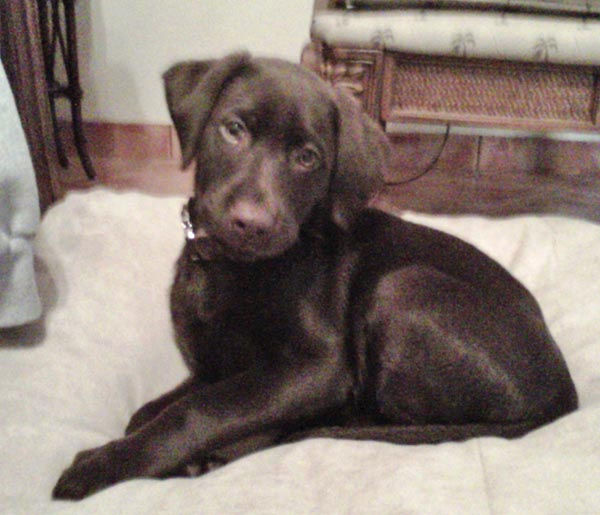 ABc7 viewer Rick Pinon from Baldwin Park sent in this photo of Coby, a 10-week-old Chocolate Labrador.  Celebrate National Puppy Day by sending photos of your pup to ABC7. <span class=meta>(KABC Photo&#47;Rick Pinon)</span>