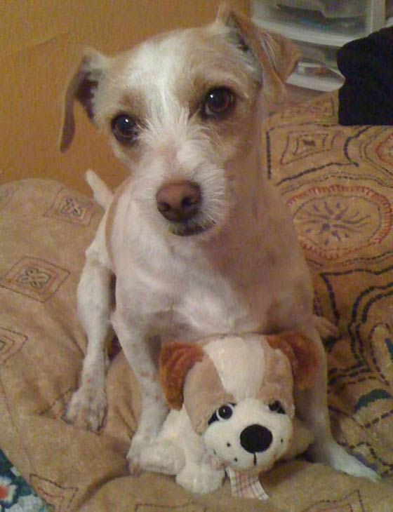 ABC7 viewer Jackie Perez from Los Angeles adopted Coco in November 2010. &#39;This short legged Jack Russell Terrier was being walked by my late father when he suffered his fatal brain aneurysm only one week after they adopted him,&#39; Jackie said. Celebrate National Puppy Day by sending photos of your pup to ABC7. <span class=meta>(KABC Photo&#47;Jackie Perez)</span>