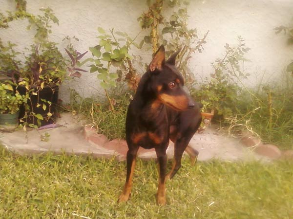 "<div class=""meta ""><span class=""caption-text "">ABC7 viewer Orlando from El Monte sent in this photo of his 2-year-old Miniature Pinscher Dobe Zyko. 'Dobe is a great dog full of energy,' Orlando says. 'He's a hand full but i love him no matter  what.' Celebrate National Puppy Day by sending photos of your pup to ABC7. (KABC Photo/Orlando)</span></div>"
