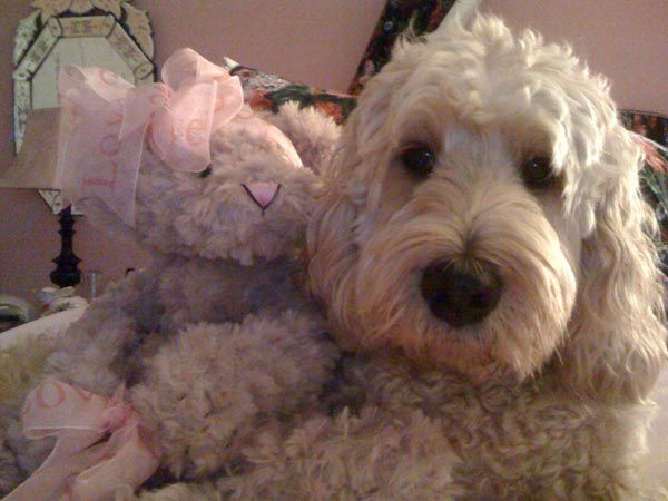 "<div class=""meta ""><span class=""caption-text "">ABC7 viewer Diana Palmer sent in this photo of Emma the Labradoodle. Celebrate National Puppy Day by sending photos of your pup to ABC7. (KABC Photo/Diana Palmer)</span></div>"