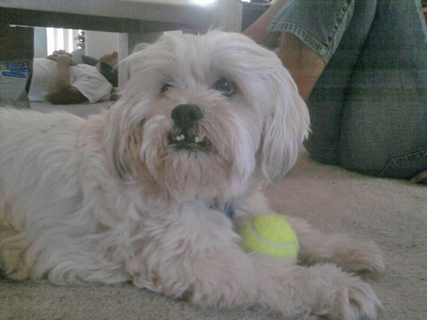 ABC7 viewer Ashley Lauffer from Palmdale sent in this photo of Gadget with a tennis ball. Celebrate National Puppy Day by sending photos of your pup to ABC7. <span class=meta>(KABC Photo&#47;Ashley Lauffer)</span>