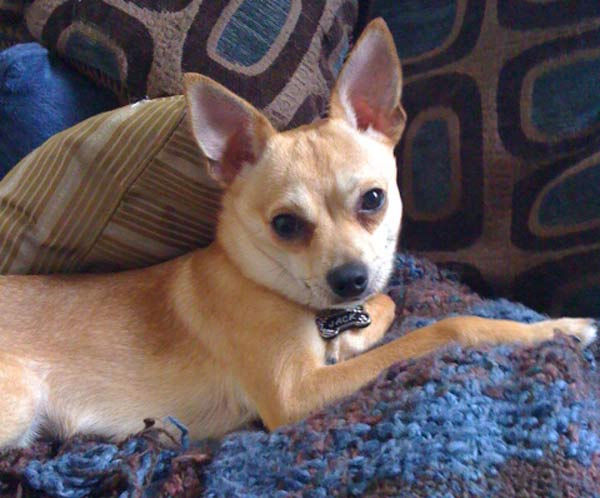 ABC7 viewer Jason Herren from Cheviot Hills adopted Jack the Ripper, a Chihuahua&#47;Italian Greyhound mix, in July  2010. Celebrate National Puppy Day by sending photos of your pup to ABC7. <span class=meta>(KABC Photo&#47;Jason Herren)</span>