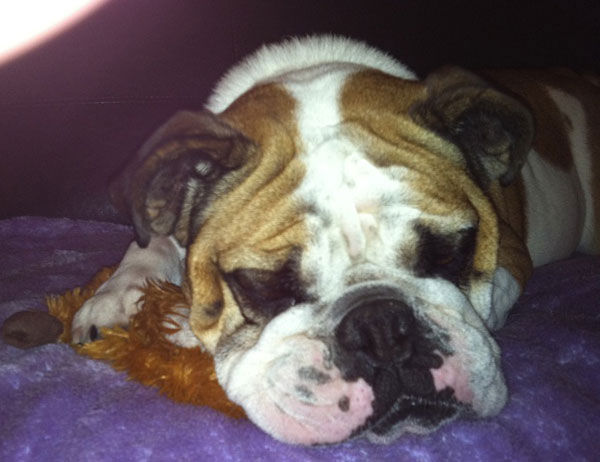 "<div class=""meta ""><span class=""caption-text "">ABC7 viewer Theresa Henrie from Simi Valley sent in this photo of Maddie, an English Bulldog. 'She makes so  many people laugh and smile,' said Theresa. 'I think that so many people have learned to love this breed. She loves to cuddle and is always looking for me her mom.' Celebrate National Puppy Day by sending photos of your pup to ABC7. (KABC Photo/Theresa Henrie)</span></div>"