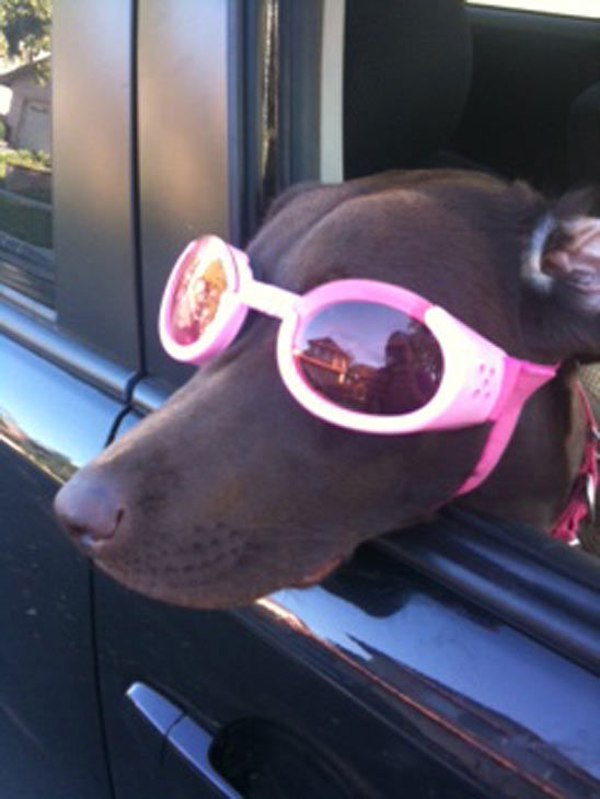 ABC7 viewer Kristin Felps from Corona sent in this photo of M&#38;M Chocolate Rockstar. Kristin describes her in the  photo above as riding in the car &#39;with her Doggles on.&#39; Kristin says &#39;the only other activity that she enjoys better  is swimming.&#39; Celebrate National Puppy Day by sending photos of your pup to  ABC7. <span class=meta>(KABC Photo&#47;Kristin Felps)</span>