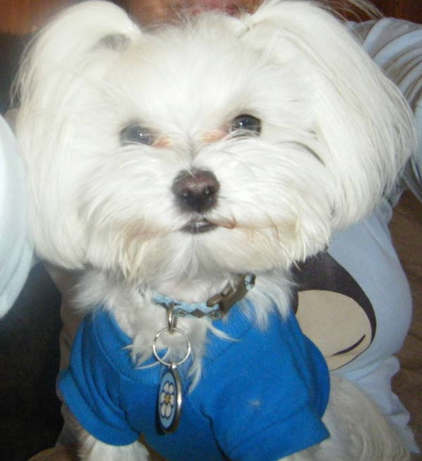 ABC7 viewer Maria Alcazar from Torrance sent in this photo of Mocha Joe, a Maltese. He was stillborn and was the only survivor of his little pack. His owner says, &#39;He has such life in him and rules our world!&#39; Celebrate National Puppy Day by sending photos of your pup to ABC7. <span class=meta>(KABC Photo&#47;Maria Alcazar)</span>