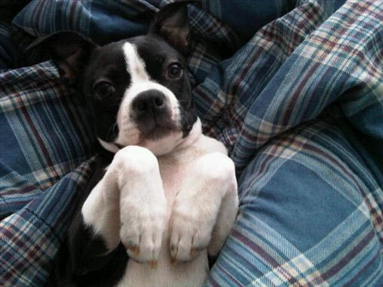 ABC7 viewer Kim Huynh sent in this photo of Rizzo, a Boston Terrier.Celebrate National Puppy Day by sending photos of your pup to ABC7. <span class=meta>(KABC Photo&#47;Kim Huynh)</span>