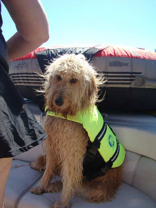 ABC7 viewer Sue Schima from La Habra Heights sent in this photo of Sadie. She says her goldendoodle is &#39;an awesome  dog!&#39; Celebrate National Puppy Day by sending photos of your pup to ABC7. <span class=meta>(KABC Photo&#47;Sue Schima)</span>