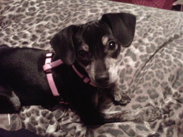 ABC7 viewer Janie 4-month-old Dachshund mix Scarlett from a shelter on Feb. 22, 2011. Celebrate National Puppy Day by sending photos of your pup to ABC7. <span class=meta>(KABC Photo&#47;Janie)</span>