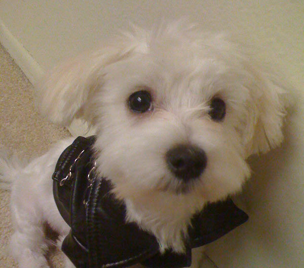 "<div class=""meta ""><span class=""caption-text "">ABC7 viewer Karla Vigil from Brea adopted Sir Bailey in November 2010. 'I received Bailey as a early Christmas gift because I had lost my other Maltese, Dante, due to another dog attacking him,' said Karla. 'Bailey is just filling my life with so much joy and happiness and it is good to come home and see that wagging tail and his excitement when he sees me.' Celebrate National Puppy Day by sending photos of your pup to ABC7. (KABC Photo/Karla Vigil)</span></div>"
