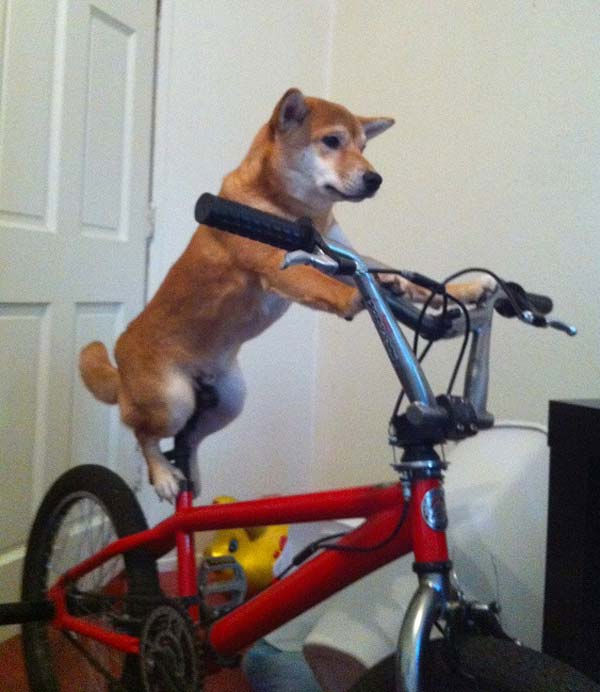 ABC7 viewer Edith Lai from Fullerton sent in this photo of Sonic, a Shiba Inu. &#39;He loves to ride his bike,&#39; said Edith. Celebrate National Puppy Day by sending photos of your pup to ABC7. <span class=meta>(KABC Photo&#47;Edith Lai)</span>