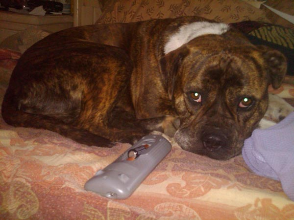 "<div class=""meta ""><span class=""caption-text "">ABC7 viewer Ganine Arnold from Los Angeles sent in this photo of Storm, a brindle mix of pit bull and boxer. Celebrate National Puppy Day by sending photos of your pup to ABC7. (KABC Photo/Ganine Arnold)</span></div>"