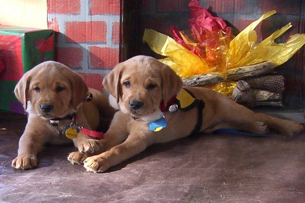 "<div class=""meta ""><span class=""caption-text "">ABC7 viewer Sandy Steinblums says Talli and Theodore are training to become guide dogs for the blind. Celebrate National Puppy Day by sending photos of your pup to ABC7. (KABC Photo/Sandy Steinblums)</span></div>"