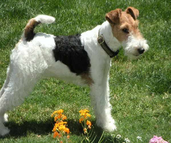 "<div class=""meta ""><span class=""caption-text "">ABC7 viewer Cathy Geiger  from Whittier sent in this photo of Trixie, a Wire Fox Terrier. Celebrate National Puppy Day by sending photos of your pup to ABC7. (KABC Photo/Cathy Geiger)</span></div>"
