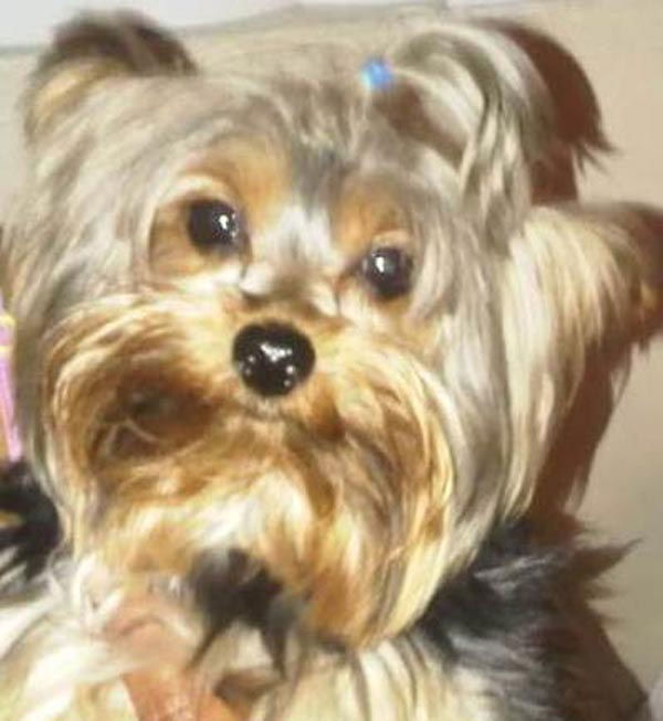 ABC7 viewer Rae Fortson from Long Beach sent in this photo of Valentino, a 4 1&#47;2 lb, four-year-old Yorkie.  Celebrate National Puppy Day by sending photos of your pup to ABC7. <span class=meta>(KABC Photo&#47;Rae Fortson)</span>