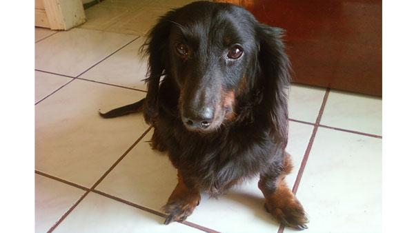 ABC7 viewer Joshua Lien of Orinda, Calif., sent in this photo of his long-haired dachshund, Mickey
