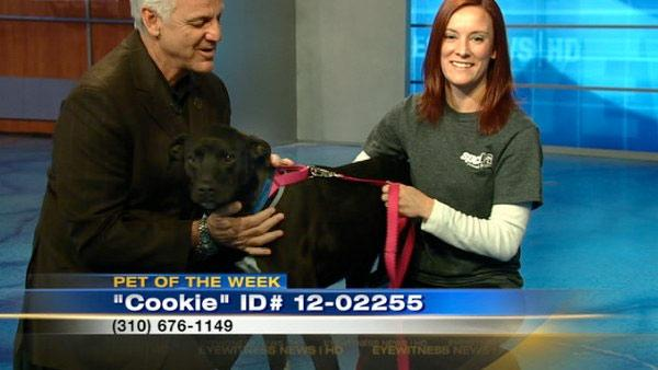 Pet of Week: Labrador mix named Cookie
