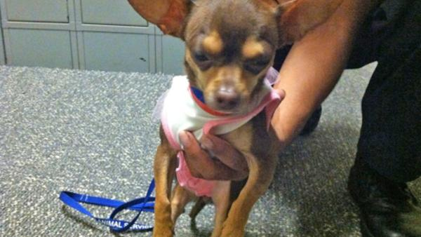 Pet of the Week: 2-year-old Chihuahua Carmen