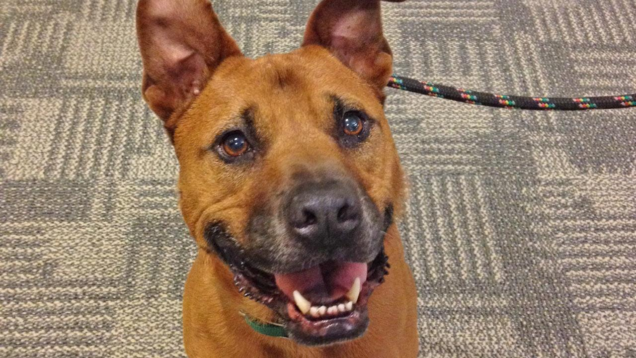 Our Pet of the Week on Thursday is a sweet 3-year-old German Shepherd mix named Bosco.