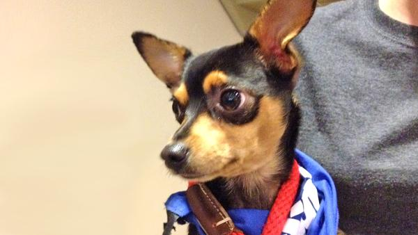 Pet of the Week: 2-year-old Chihuahua mix