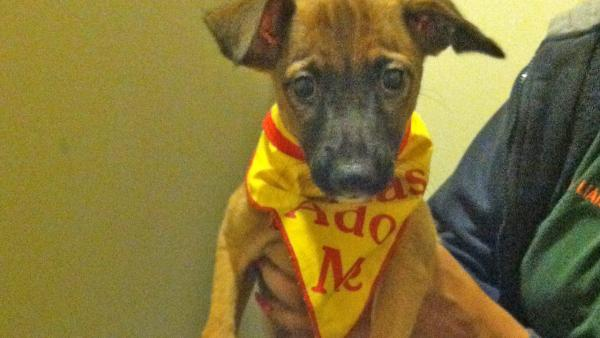 Pet of the Week: 3-month-old Chihuahua Cassius