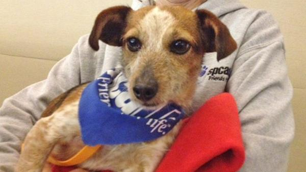 Pet of Week: Terrier-Dachshund-mix Wrangler
