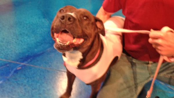 Pet of the Week: Staffordshire mix named Rhia