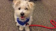 Our Pet of the Week on Thursday is a 1-year-old male terrier-mix named Bartleby.