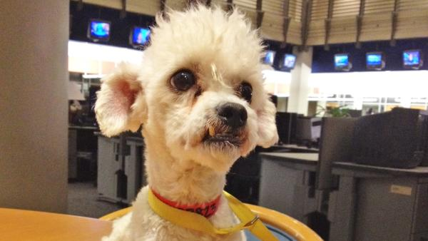 Pet of the Week: Bichon Frise mix Curtis