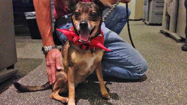 Pet of the Week: Rat terrier named Olive