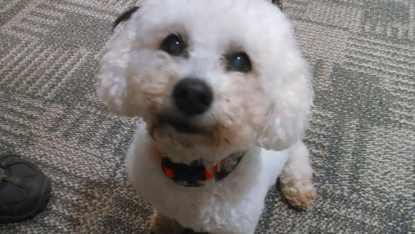 Pet of the Week: 7-year-old Poodle