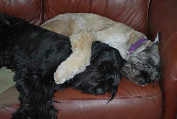 "<div class=""meta ""><span class=""caption-text "">ABC7 viewer Peggy Gumm from Los Angeles sent in this photo of Fritz and Frankie, two Giant Schnauzers. Gumm describes the two as giant couch potatoes. Celebrate National Puppy Day by sending photos of your pup to ABC7. (KABC Photo/Peggy Gumm)</span></div>"