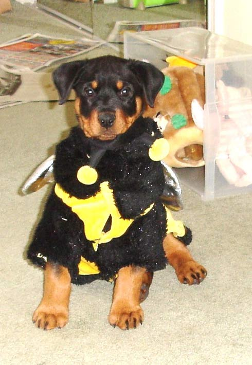 "<div class=""meta ""><span class=""caption-text "">ABC7 viewer Sharen Matye from Porter Ranch sent in this photo of Buddy in his 2009 Halloween costume. Celebrate National Puppy Day by sending photos of your pup to ABC7. (KABC Photo/Sharen Matye)</span></div>"